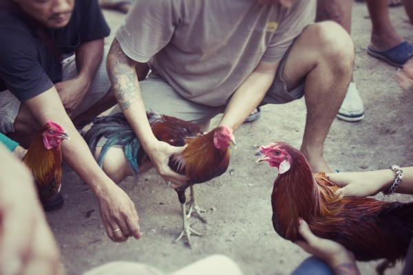 three roosters cockfight in bali