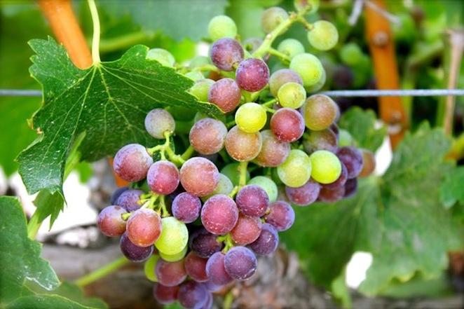 santa ynez grapes
